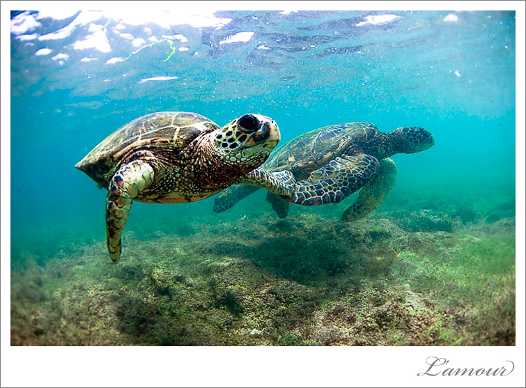 Turtle photo underwater in Hawaii