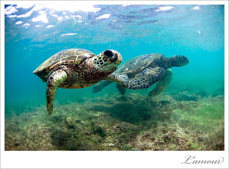 Turtle photo underwater in Hawaii